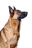 German shepard background Stock Images