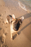German shepard. On the beach Royalty Free Stock Photo