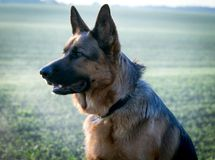 German shepard. In Denmark whit evningsun Royalty Free Stock Image