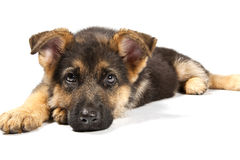 German shepard dog. Puppy of german shepard dog portrait on white background Stock Images