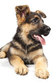 German shepard dog. Puppy of german shepard dog portrait on white background Royalty Free Stock Image