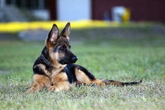German shepard dog. On the nature ( 4 month Royalty Free Stock Images