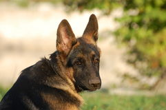 German Shepard Dog Stock Image