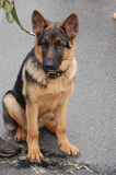 German Shepard Dog Royalty Free Stock Photo