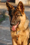 German Shepard Dog Stock Photo