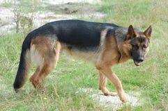 German Shepard Dog Stock Photo