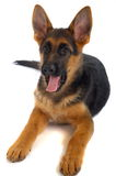 German shepard dog. Puppy. White background Royalty Free Stock Images