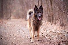 Dog German Shepherd stock image