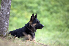German Shepard dog lay outside under tree Royalty Free Stock Photo