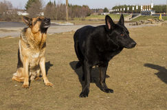 German shepard dog. On the nature Royalty Free Stock Image