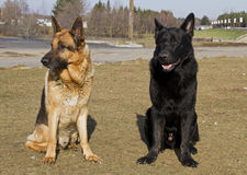 German shepard dog. On the nature Royalty Free Stock Images