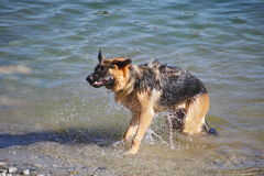 German Shepard Dries Off. An adult German Shepard shakes vigorously to dry off after cooling off in a lake Stock Photos