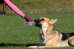 German Shepard drinking from a water bottle horizontal Stock Image
