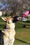 German Shepard drinking from a water bottle Royalty Free Stock Images