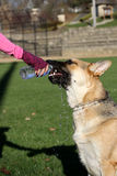 German Shepard drinking from a water bottle vertical Stock Image