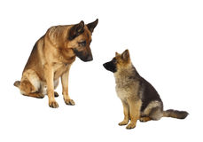 German shepard family. German shepard dog portrait and his puppy on white background Royalty Free Stock Image