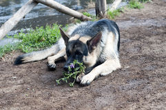 German Shepard with flower Stock Photos