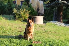 German shepard. On the green field Stock Photography