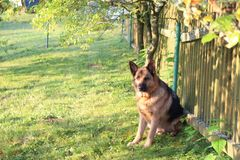 German shepard. On the green field Royalty Free Stock Photos