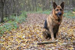 German shepard. On the green field Royalty Free Stock Photo