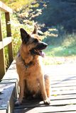 German shepard. On the green field Royalty Free Stock Image