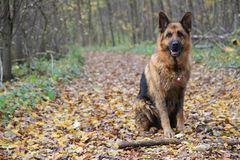 German shepard. On the green field Royalty Free Stock Images