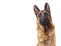 German shepard isolated on white. With space for text Royalty Free Stock Photo