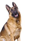 German shepard isolated on white. With space for text Royalty Free Stock Photos