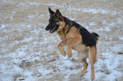 German Shepard Jumping. German Shepard dog jumping and playing in the snow Stock Photo