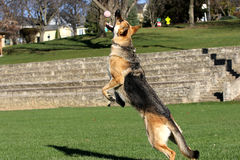 German Shepard jumping for his ball showing teeth horizontal Royalty Free Stock Images
