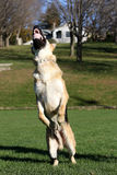 German Shepard jumping for his ball showing teeth vertical Royalty Free Stock Photos