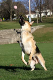 German Shepard jumping for his ball vertical Royalty Free Stock Photography