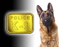 German shepard k9 police. German shepard isolated on white with k9 police golden plate Stock Images