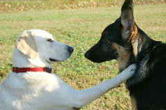 German shepard and labrador. Friendship between german shepard and labrador Stock Photos