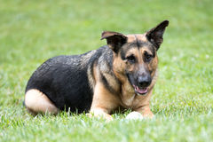 German Shepard Laying in Grass with Ball. A large black and tan male German Shepard Laying in Grass with Ball staring into the camera lens. canine Royalty Free Stock Photo