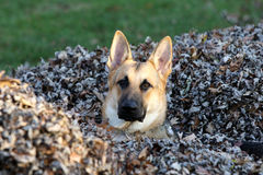 German Shepard in a Leaf pile Stock Photography