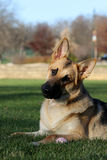 German Shepard listening to his master head tilt Stock Photography