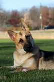 German Shepard listening to his master head tilt to the right Royalty Free Stock Photography