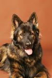 German Shepard Long Hair. A beautiful long haired German Shepherd dog head portrait Royalty Free Stock Image