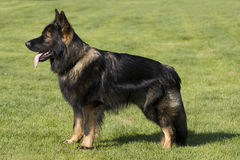 German Shepard Long Hair Stock Photos