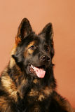 German Shepard Long Hair Portrait Stock Image