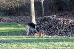 German Shepard looking for his ball in a leaf pile Royalty Free Stock Images