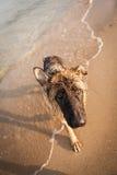 German shepard Royalty Free Stock Images