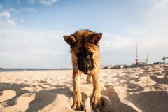 German shepard. Playing on the beach Royalty Free Stock Images