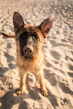 German shepard. Playing on the beach Royalty Free Stock Image