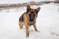 German shepard. Playing in the snow Stock Image
