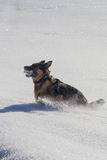 German shepard playing in snow with snowball Royalty Free Stock Photos