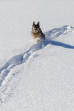 German shepard playing in snow with snowball Royalty Free Stock Photo