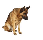 German shepard portrait. German shepard dog portrait on white background Royalty Free Stock Photography