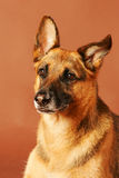 German Shepard Portrait Stock Photo